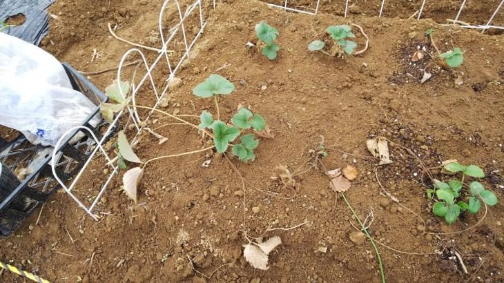 イチゴ栽培~植え替えて増やす!植え付け方や管理方法