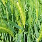 家庭菜園のもち麦(キラリもち)の栽培記録!進捗状況・穂が出た~