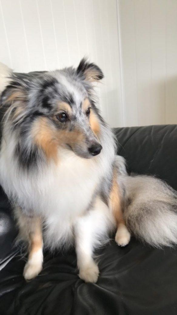 Sheltie eller Shetland Sheepdog