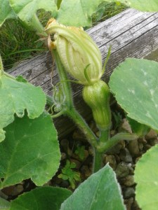 Baby Butternut Squash on plant