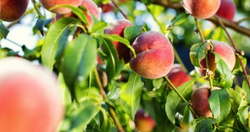 nj peach festival