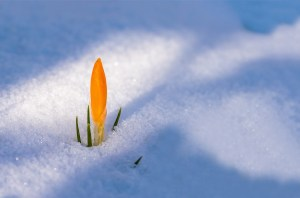 crocus flower coming up in the snow
