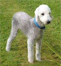 Bedlington terijer