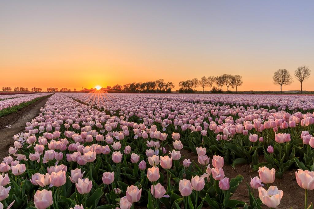 Bollenveld, tulpen, zonsondergang, fotograferen met vrienden
