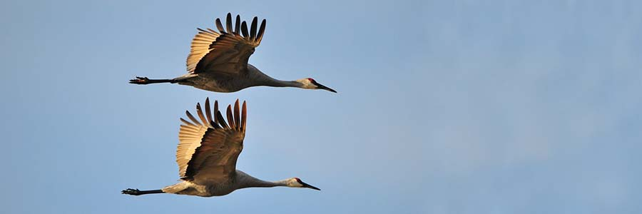 Flying sandhill cranes Sandhill cranes create a mirror-like image against a blue sky