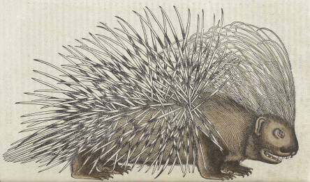 A hand colored illustration of a porcupine.