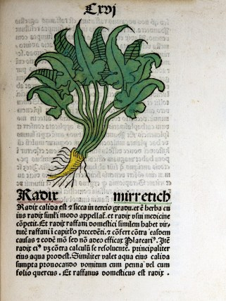 A colored woodcut showing arrowhead shaped foliage and a yellow root like a short carrot.