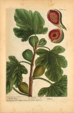 Colored botanical illustration of a fig tree.
