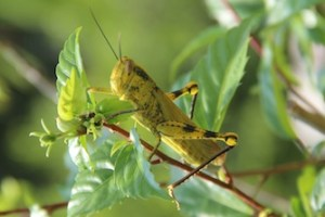 Grasshopper In Malaysia