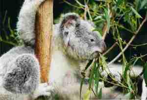 Koala Climbing Tree