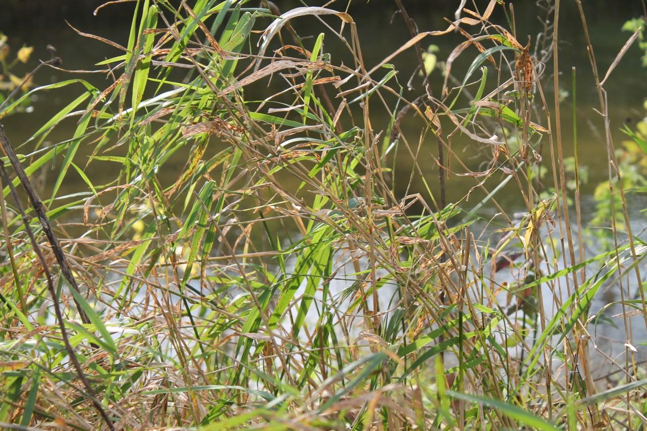 creek grasses gal