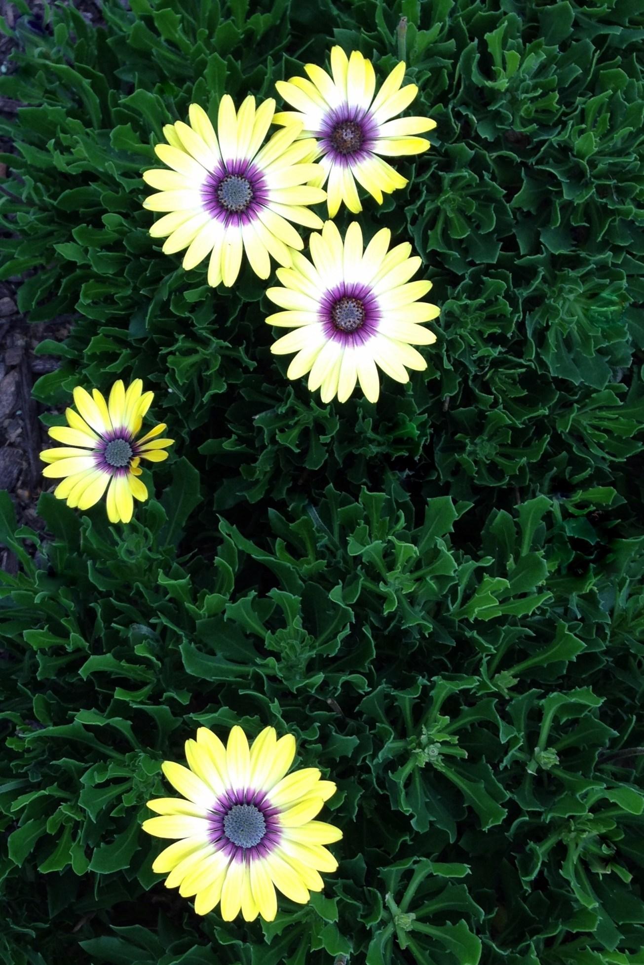 IMG_9762-001 gall fall daisies