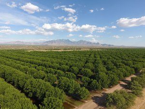 NM pecan production sets new record