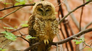 Mexican Spotted Owl Dispute Finally Reaches Resolution