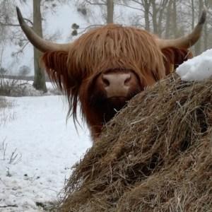 highland-cow-card