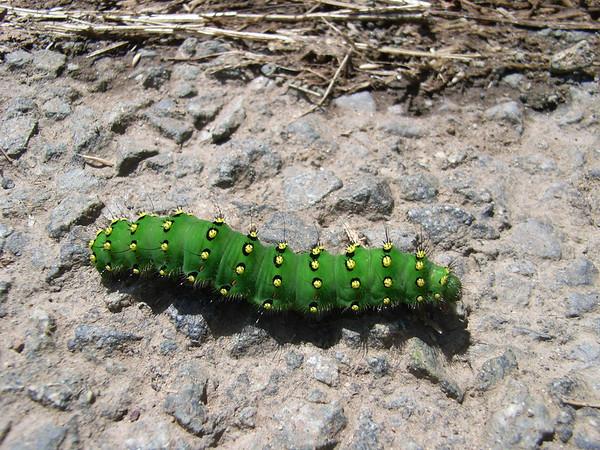 Welsh Caterpillar