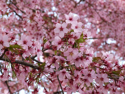 Cherry Blossoms near Windsor Castle, March 2009