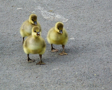 Some goslings out for a walk in York.  They look like hooligans.