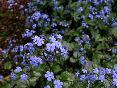 Dont you love this blue?  Forget-me-not, Bowness on Windermere, April 2009