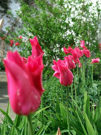 The Largest Tulips I have ever seen.  Blackwell House, April 2009.