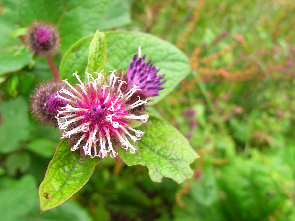 Greater Burdock, Symonds Yat, August 2009.