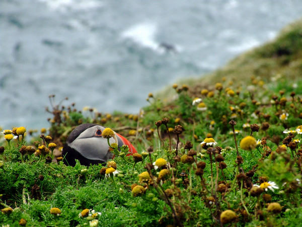 Puffin hiding in the grass.
