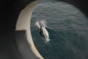 Bottlenose Dolphin bowriding