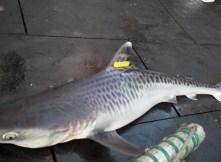 Tiger shark with Roto tag