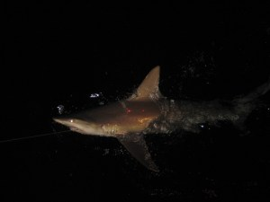 Do you see the 2 laser dots on the shark?  This 10 cm increment helps scientists estimate the length of the shark.