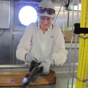 I struggle to measure a squirmy black sea bass, Centropristis striata.