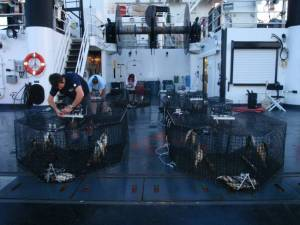 Fish survey team prepares baited traps at dawn