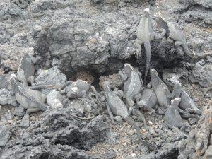 Iguana pile