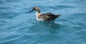 A sheerwater -- bird found in open water
