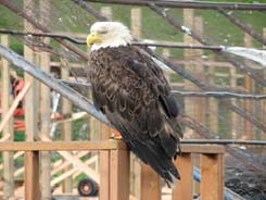 Eagle or seagull?  This guy sits and waits for a food meal on top of the hotel dumpster.