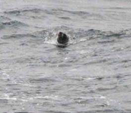 This fur seal followed the boat for about 30 minutes while we were trawling for pollock.  He was hoping for a free dinner.