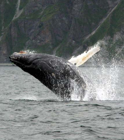 A humpback whale breaching… breathtaking sight!