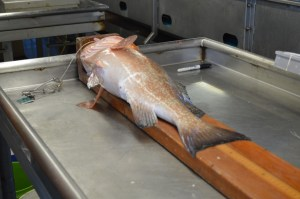 Fish on a measuring board.