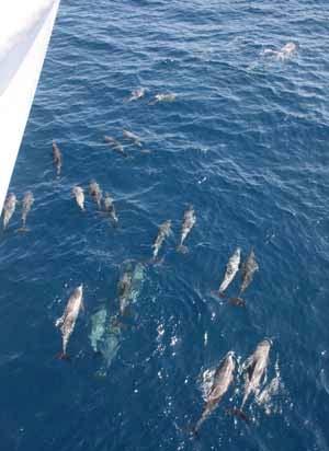 A pod of dolphins bow-riding the GORDON GUNTER.