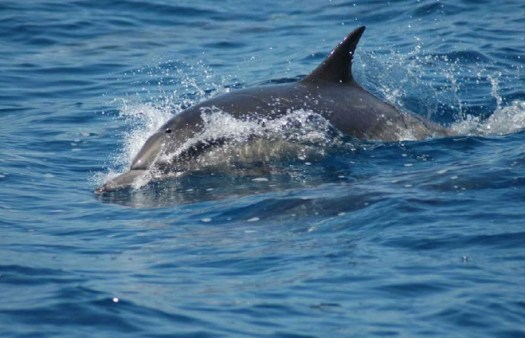 Common dolphin off Catalina Island