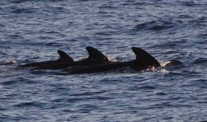 Pilot whales sighted off the bow!
