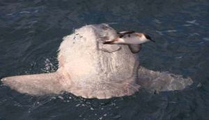 A solitary ocean sunfish basks in the sun while a shearwater skims by.