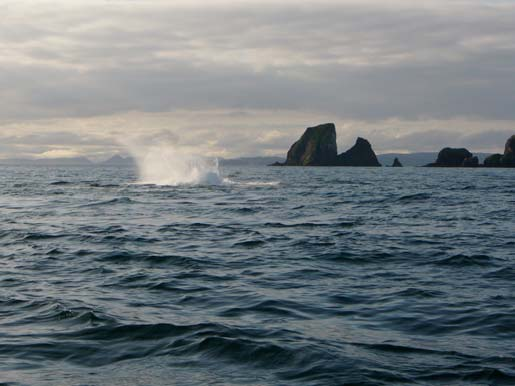 Humpback whales breach near the ship
