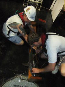 Ian (left) helping to measure a Tiger Shark.