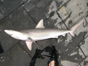 Blacknose Shark Photo Credit: Claudia Friess from her 2009 Longline cruise on the Oregon II. Unfortunately, when we caught the Blacknose it was too dark to get a good picture.