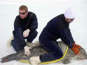 Measuring the length and width of a seal is a quick way to get a fairly accurate measure of weight.