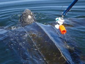 Tagging a big leatherback