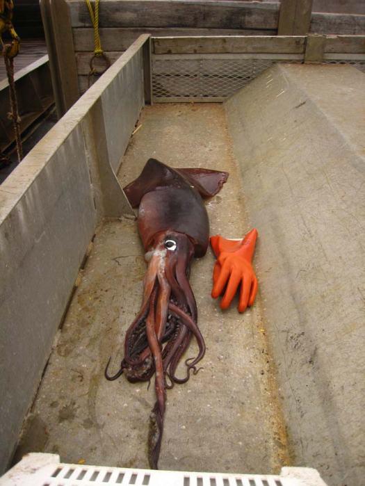 Big squid!