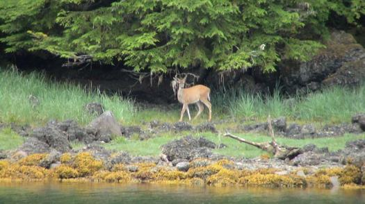 A young deer watching intently from an island while our launch takes readings of the water depth.
