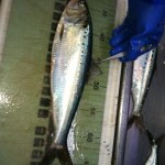 pic of American shad