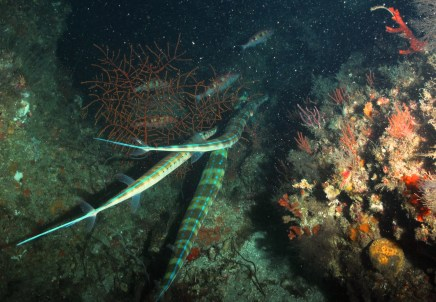 Cornetfish.  Photo by NOAA / UNCW ROV June 2014.